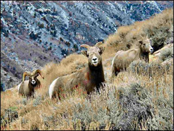 Gray Jay Press- Visitors Guide to the Ruby Mtns- Bighorn Sheep